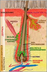 фото волосяная луковица